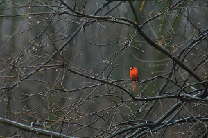 cardinal-in-end-of-winter-rain-james-oppenheim
